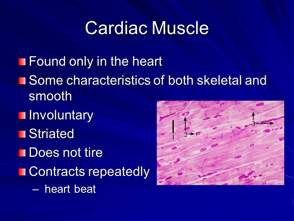 Muscles at Work Skeletal muscles only contract when they receive a message from nervous system.