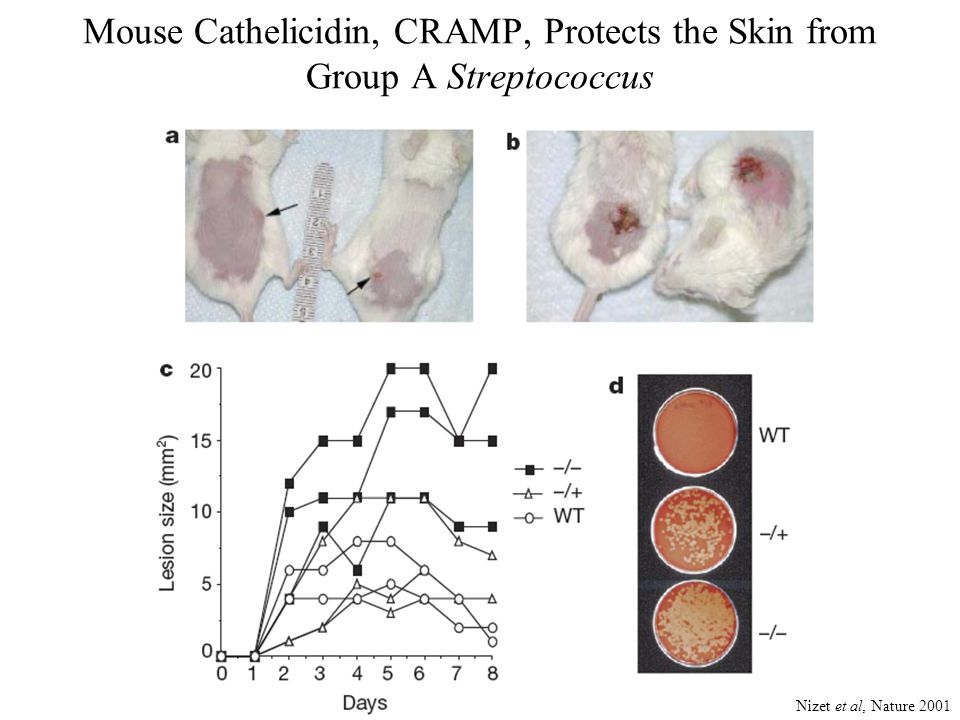 Mouse Cathelicidin, CRAMP, Protects the Skin from Group A Streptococcus Nizet et al, Nature 2001