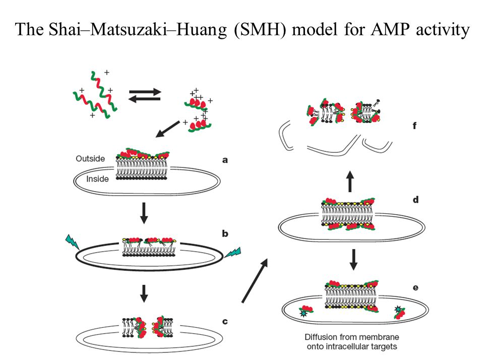 The Shai–Matsuzaki–Huang (SMH) model for AMP activity