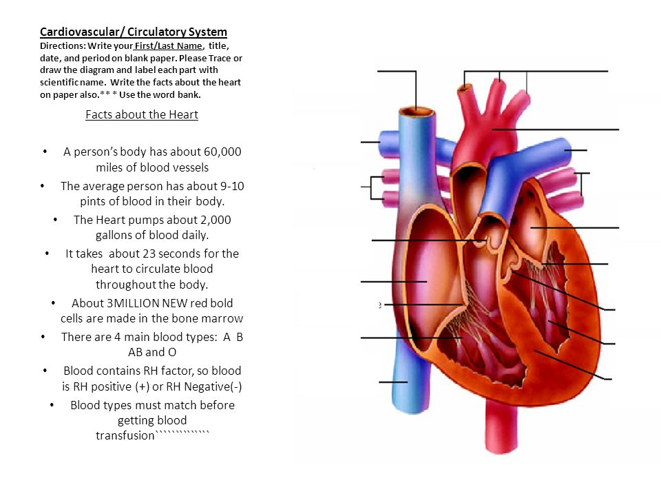 Cardiovascular/ Circulatory System Directions: Write your First/Last Name, title, date, and period on blank paper.