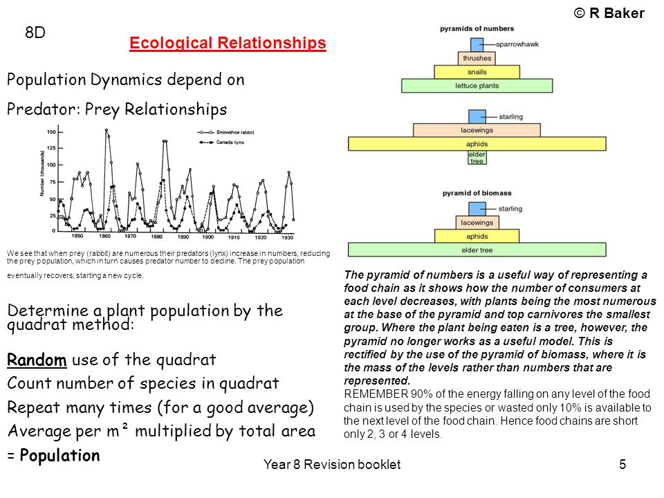 © R Baker Year 8 Revision booklet 5 8D Ecological Relationships Population Dynamics depend on Predator: Prey Relationships We see that when prey (rabb