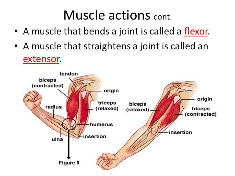 Muscle actions cont. A muscle that bends a joint is called a flexor.