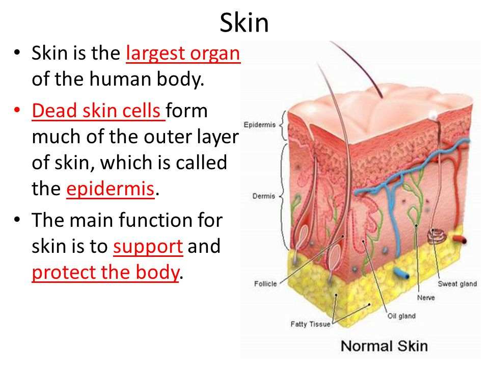 Skin Skin is the largest organ of the human body.