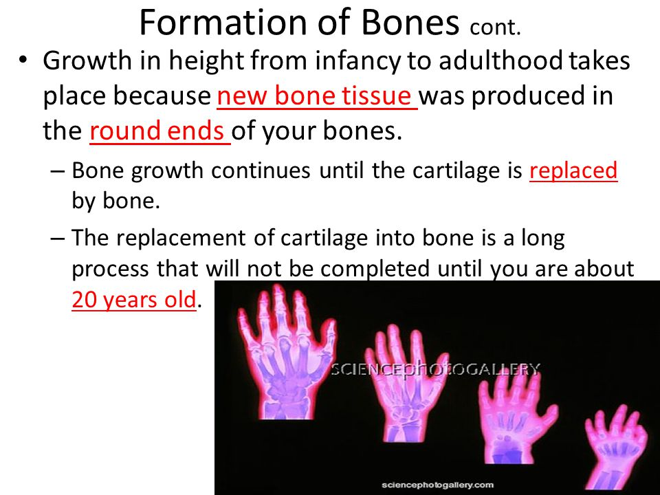 Formation of Bones cont.