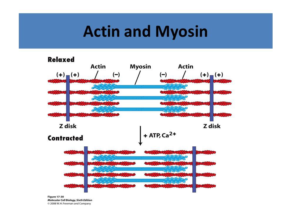 Acting and Myosin Filaments Actin and Myosin