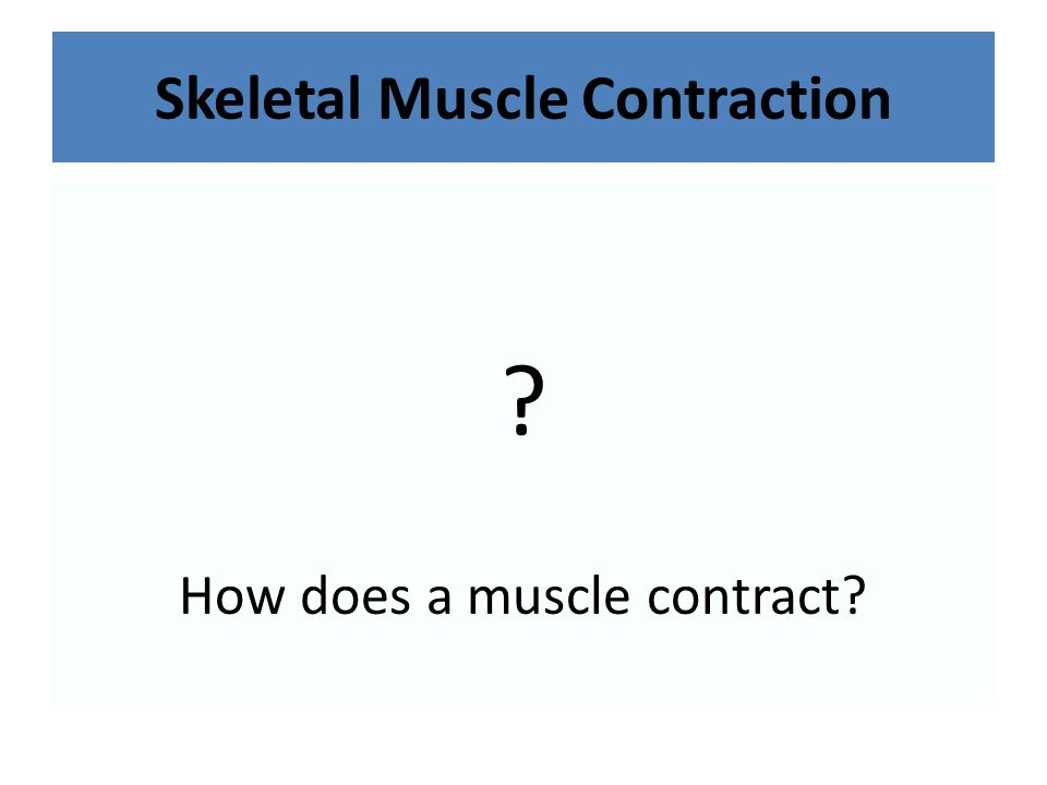 Skeletal Muscle Contraction ? How does a muscle contract?