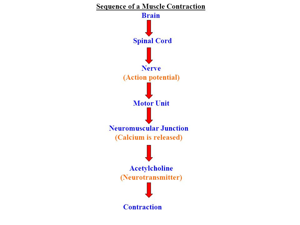 Sequence of a Muscle Contraction Brain Spinal Cord Nerve (Action potential) Motor Unit Neuromuscular Junction (Calcium is released) Acetylcholine (Neurotransmitter) Contraction