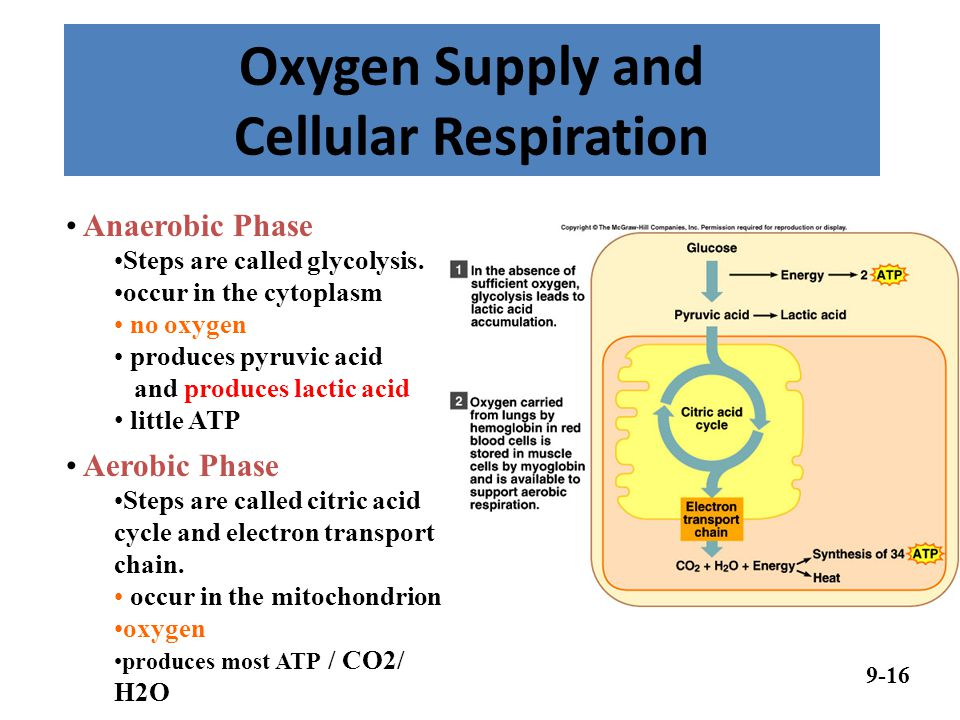 Oxygen Supply and Cellular Respiration 9-16 Anaerobic Phase Steps are called glycolysis.