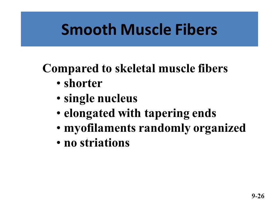 Smooth Muscle Fibers 9-26 Compared to skeletal muscle fibers shorter single nucleus elongated with tapering ends myofilaments randomly organized no striations