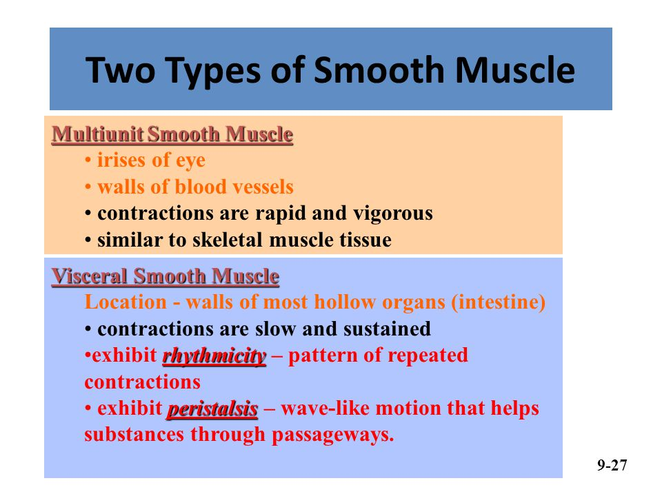 Two Types of Smooth Muscle 9-27 Visceral Smooth Muscle Location - walls of most hollow organs (intestine) contractions are slow and sustained rhythmicityexhibit rhythmicity – pattern of repeated contractions peristalsis exhibit peristalsis – wave-like motion that helps substances through passageways.