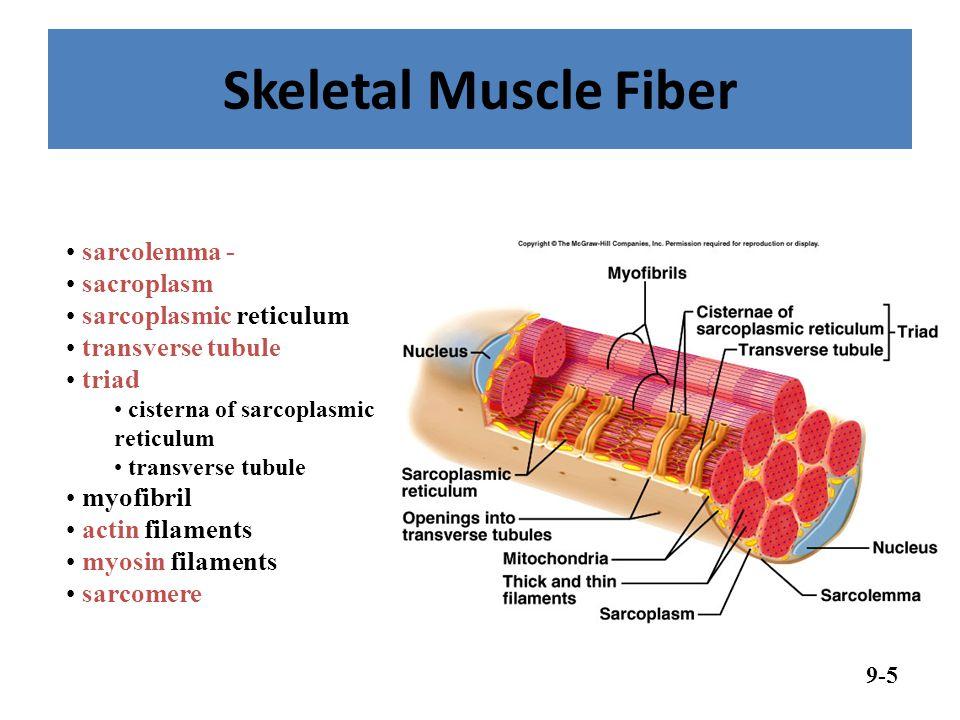 Skeletal Muscle Fiber 9-5 sarcolemma - sacroplasm sarcoplasmic reticulum transverse tubule triad cisterna of sarcoplasmic reticulum transverse tubule myofibril actin filaments myosin filaments sarcomere
