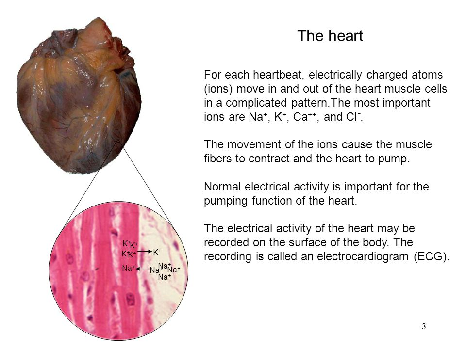3 For each heartbeat, electrically charged atoms (ions) move in and out of the heart muscle cells in a complicated pattern.The most important ions are Na +, K +, Ca ++, and Cl -.