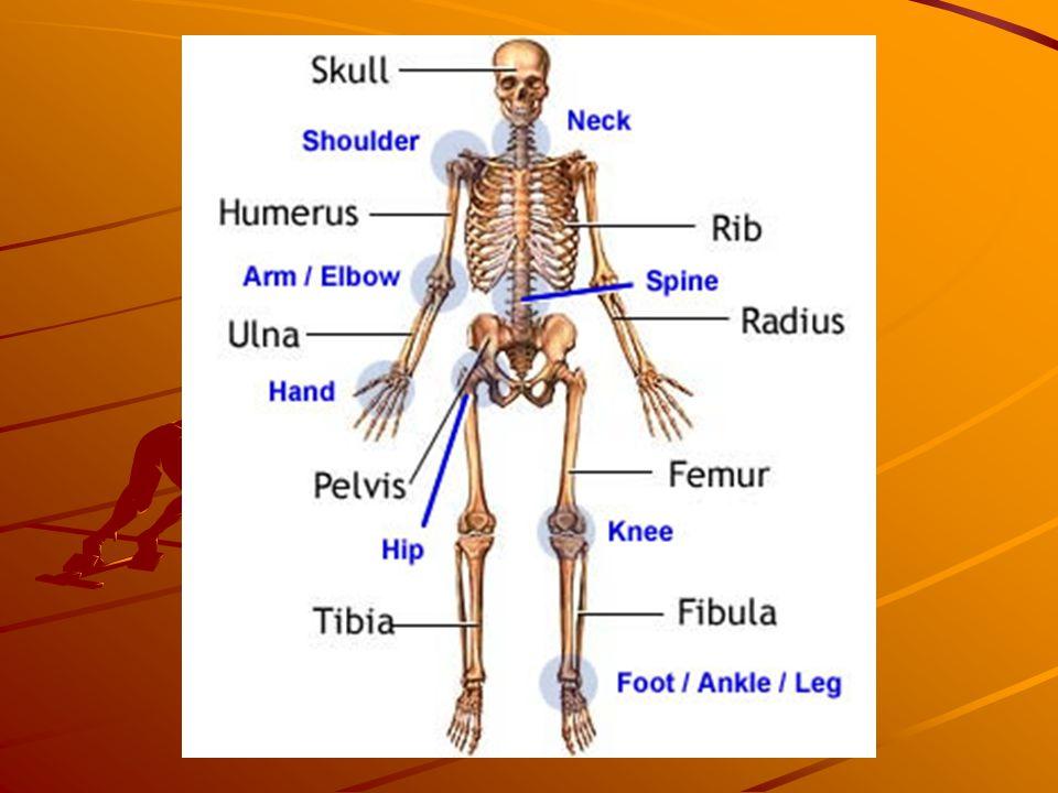 The bones also store minerals. Cartilage: tough, fibrous, elastic connective tissue