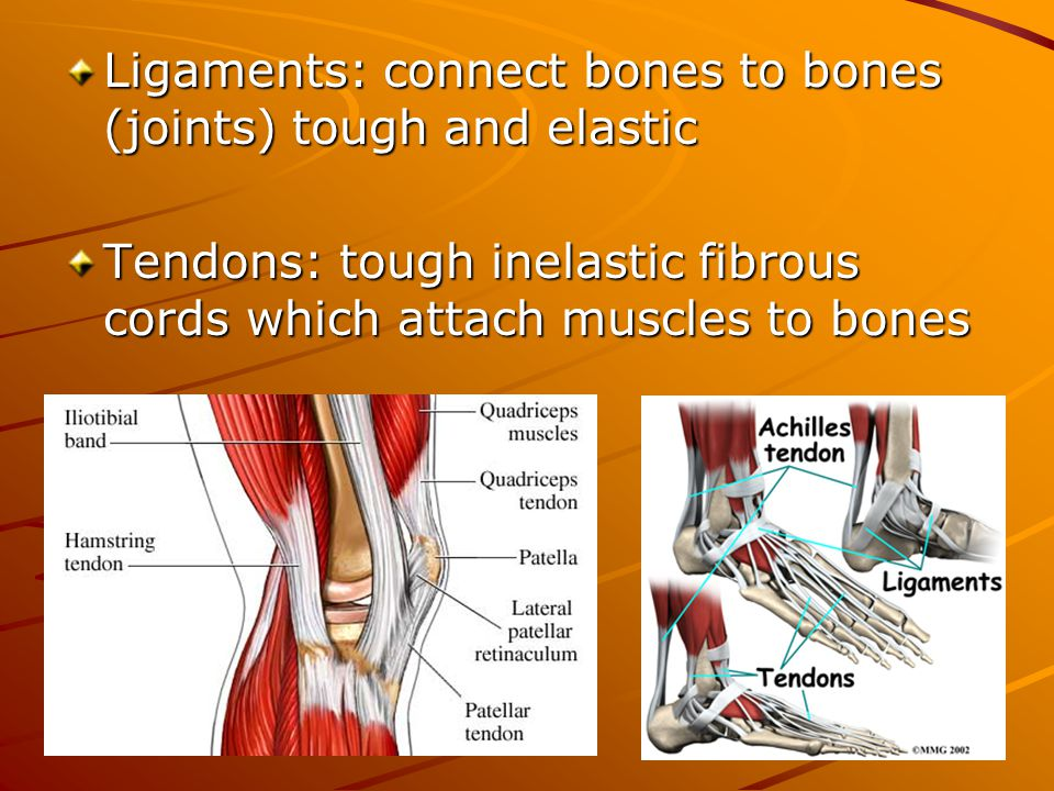Ligaments: connect bones to bones (joints) tough and elastic Tendons: tough inelastic fibrous cords which attach muscles to bones
