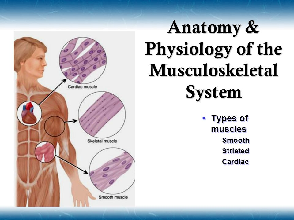  Types of muscles  Smooth  Striated  Cardiac  Types of muscles  Smooth  Striated  Cardiac Anatomy & Physiology of the Musculoskeletal System