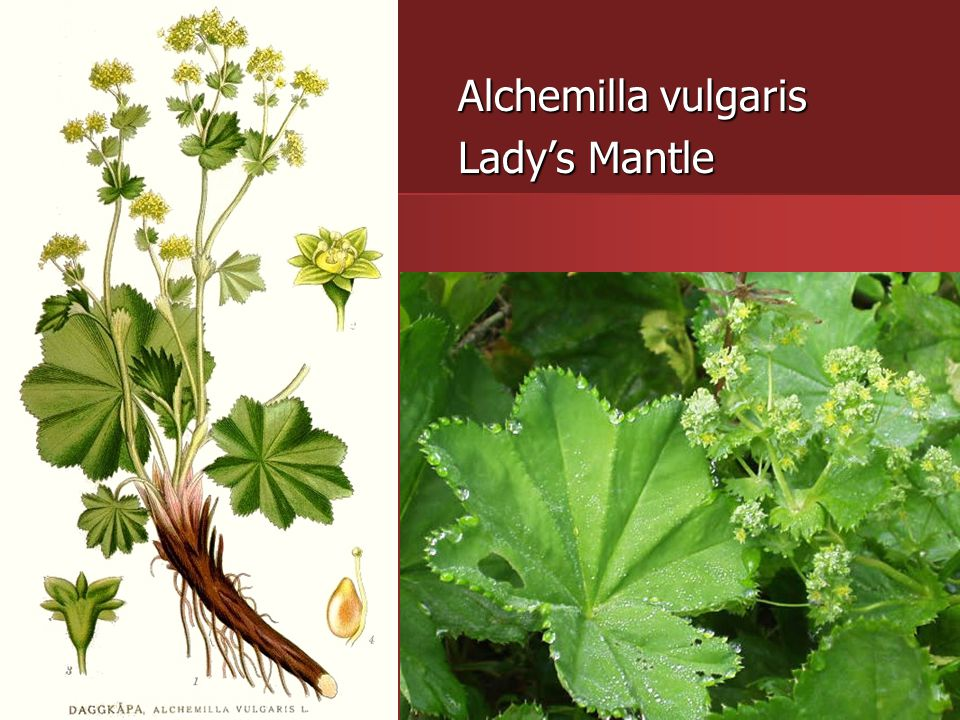 Alchemilla vulgaris Lady's Mantle