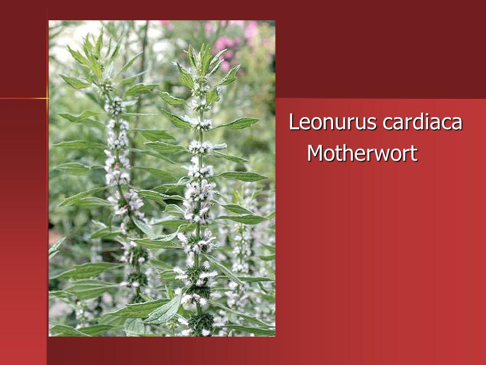 Leonurus cardiaca Motherwort