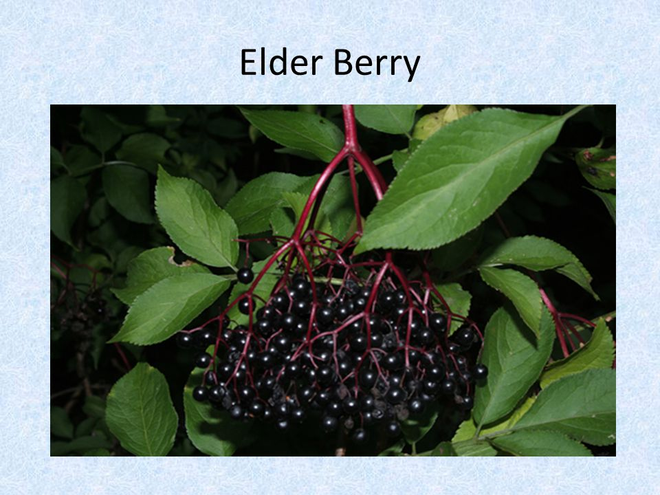 Elder Berry