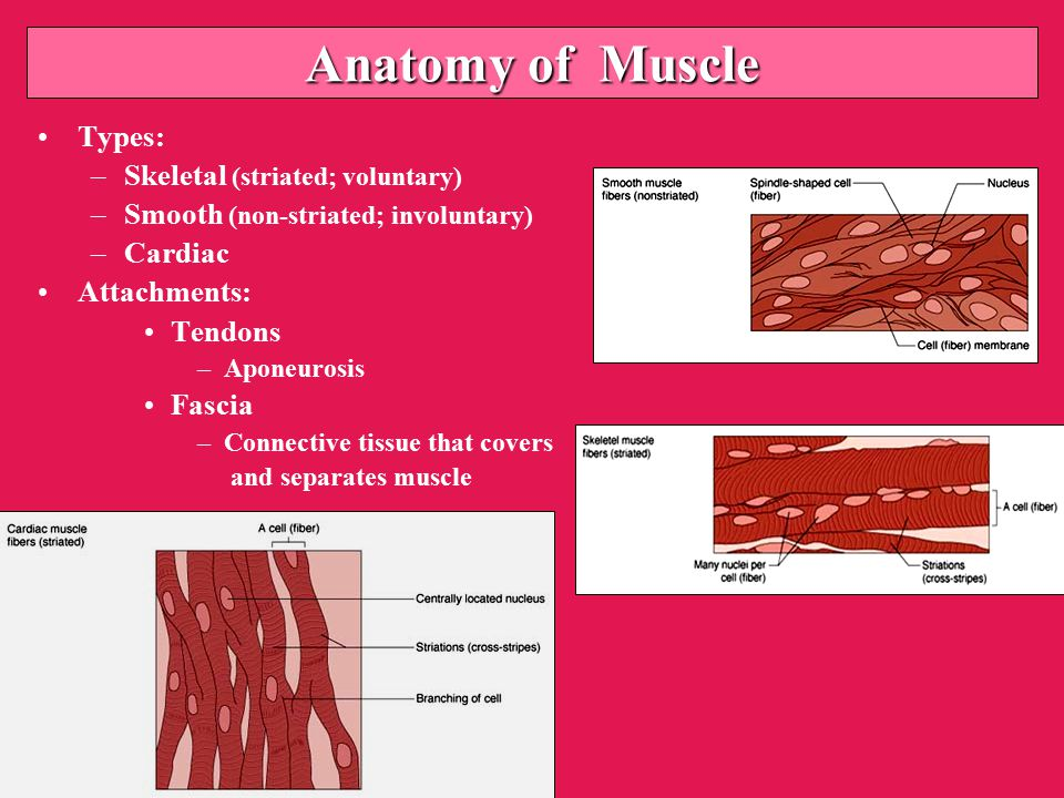 Anatomy of Muscle Types: –Skeletal (striated; voluntary) –Smooth (non-striated; involuntary) –Cardiac Attachments: Tendons –Aponeurosis Fascia –Connective tissue that covers and separates muscle