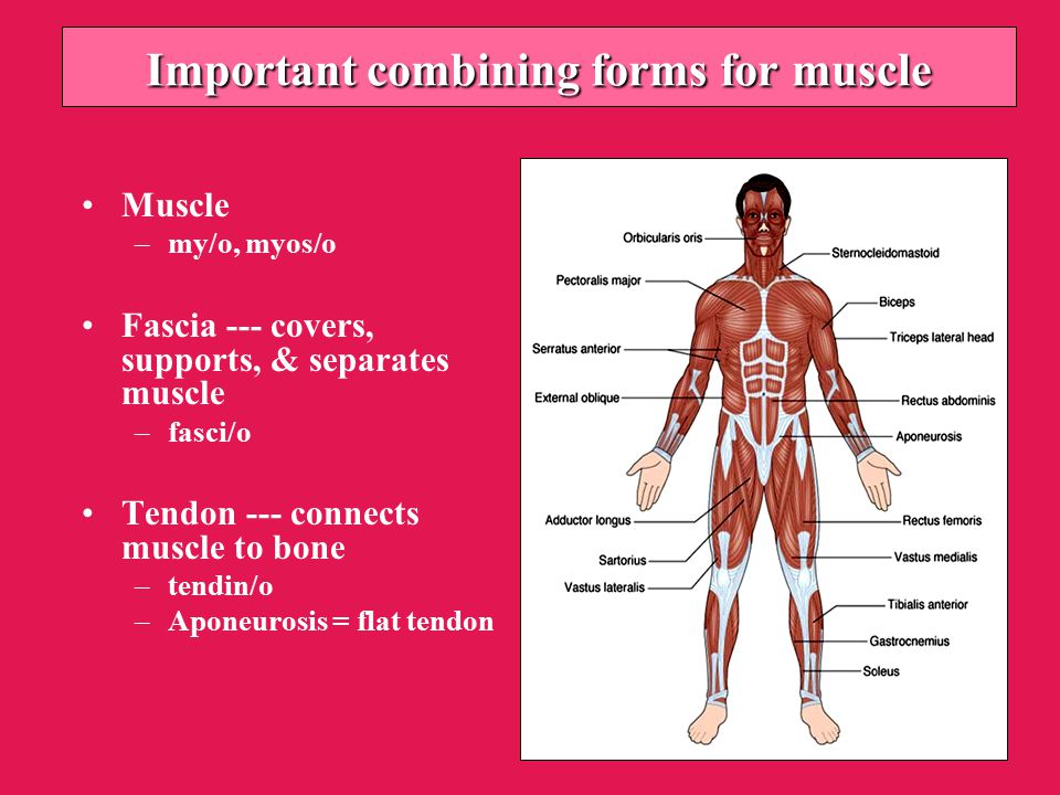 Importantcombining forms for muscle Important combining forms for muscle Muscle –my/o, myos/o Fascia --- covers, supports, & separates muscle –fasci/o Tendon --- connects muscle to bone –tendin/o –Aponeurosis = flat tendon