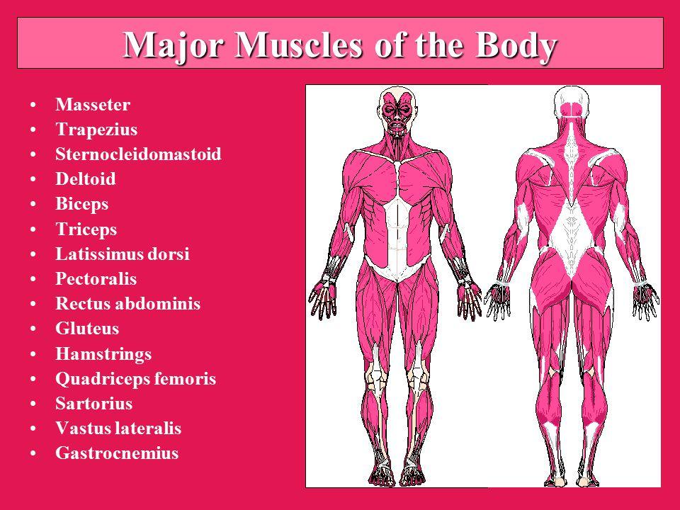 Major Muscles of the Body Masseter Trapezius Sternocleidomastoid Deltoid Biceps Triceps Latissimus dorsi Pectoralis Rectus abdominis Gluteus Hamstrings Quadriceps femoris Sartorius Vastus lateralis Gastrocnemius
