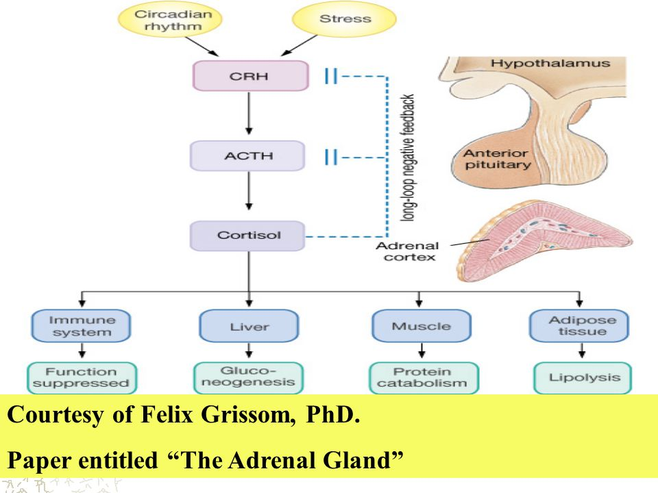 "Courtesy of Felix Grissom, PhD. Paper entitled ""The Adrenal Gland"""