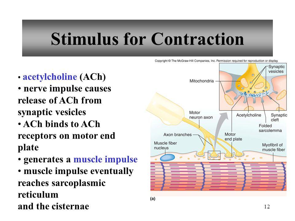 11 Motor Unit single motor neuron all muscle fibers controlled by motor neuron