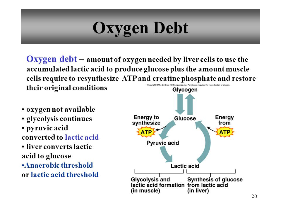 19 Oxygen Supply and Cellular Respiration Anaerobic Phase glycolysis occurs in cytoplasm produces little ATP Aerobic Phase citric acid cycle electron