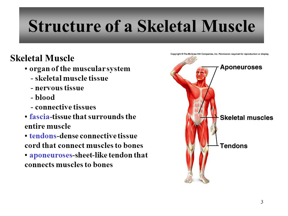 2 Functions of Skeletal Muscle Produce skeletal movement Maintain posture and body position Support soft tissues Guard entrances and exits Maintain bo