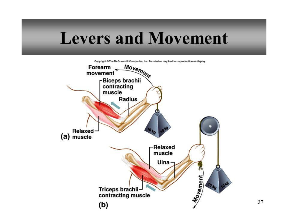 36 Body Movement Four Basic Components of Lever 1. rigid bar – bones 2. fulcrum – point on which bar moves; joint 3. object - moved against resistance