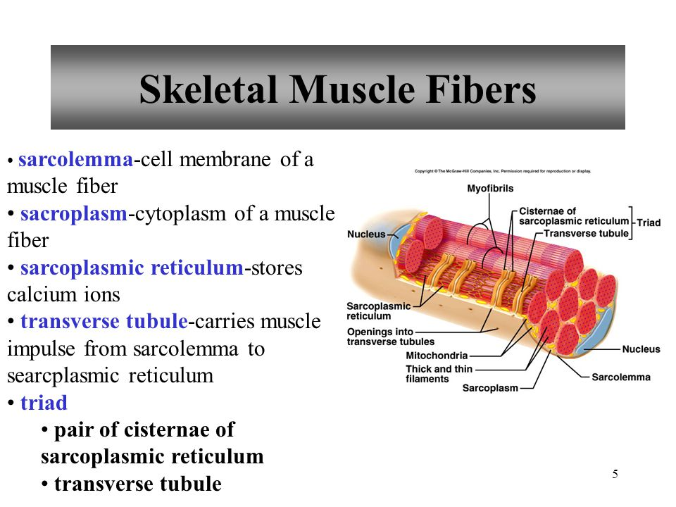 4 Connective Tissue Coverings epimysium-membrane that surrounds the whole muscle perimysium-membrane that surrounds fascicles fascicles-groups of musc