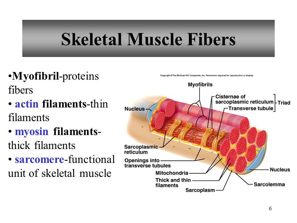 5 Skeletal Muscle Fibers sarcolemma-cell membrane of a muscle fiber sacroplasm-cytoplasm of a muscle fiber sarcoplasmic reticulum-stores calcium ions transverse tubule-carries muscle impulse from sarcolemma to searcplasmic reticulum triad pair of cisternae of sarcoplasmic reticulum transverse tubule
