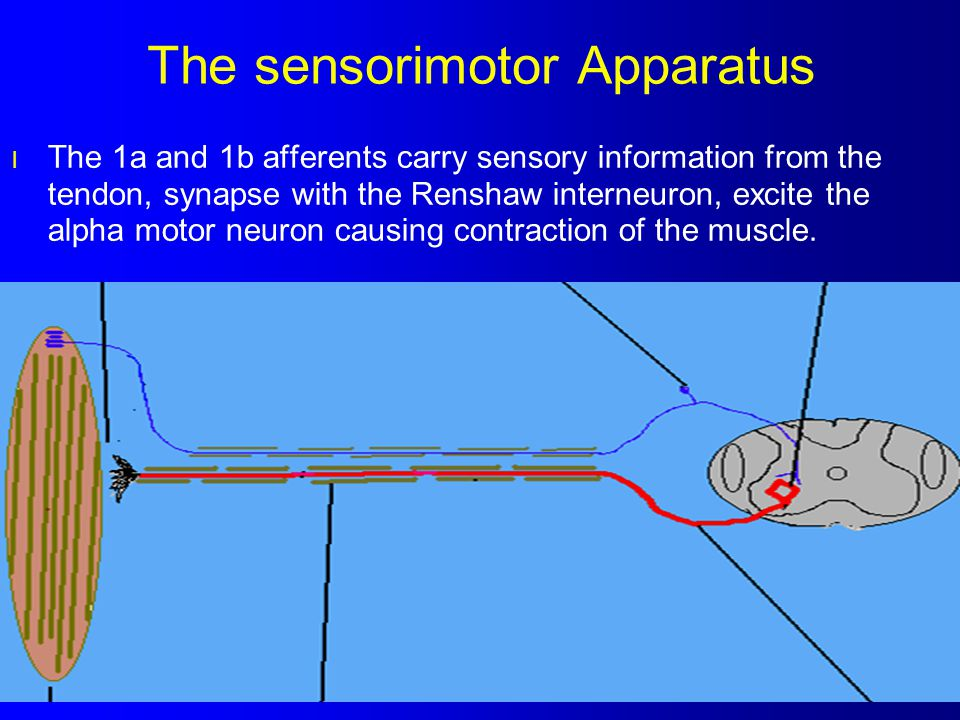 The sensorimotor Apparatus l The 1a and 1b afferents carry sensory information from the tendon, synapse with the Renshaw interneuron, excite the alpha
