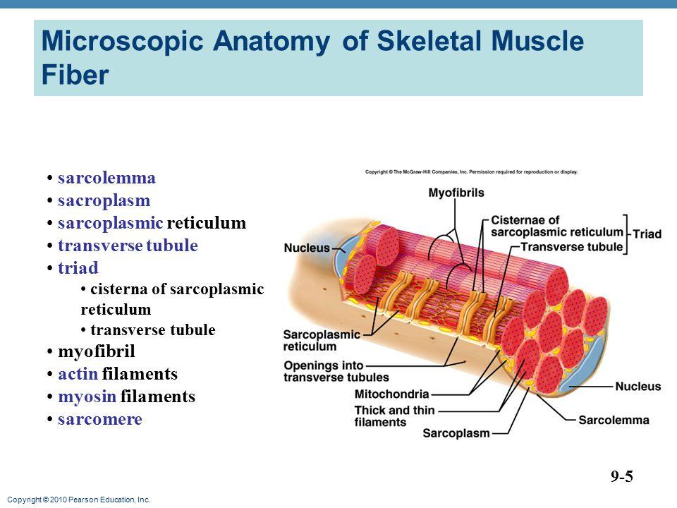 Copyright © 2010 Pearson Education, Inc. Microscopic Anatomy of Skeletal Muscle Fiber 9-5 sarcolemma sacroplasm sarcoplasmic reticulum transverse tubu