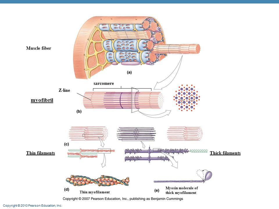 Copyright © 2010 Pearson Education, Inc. Muscle fiber myofibril Thin filamentsThick filaments Thin myofilament Myosin molecule of thick myofilament sa