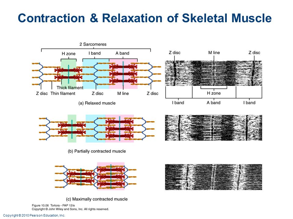 Copyright © 2010 Pearson Education, Inc. Contraction & Relaxation of Skeletal Muscle