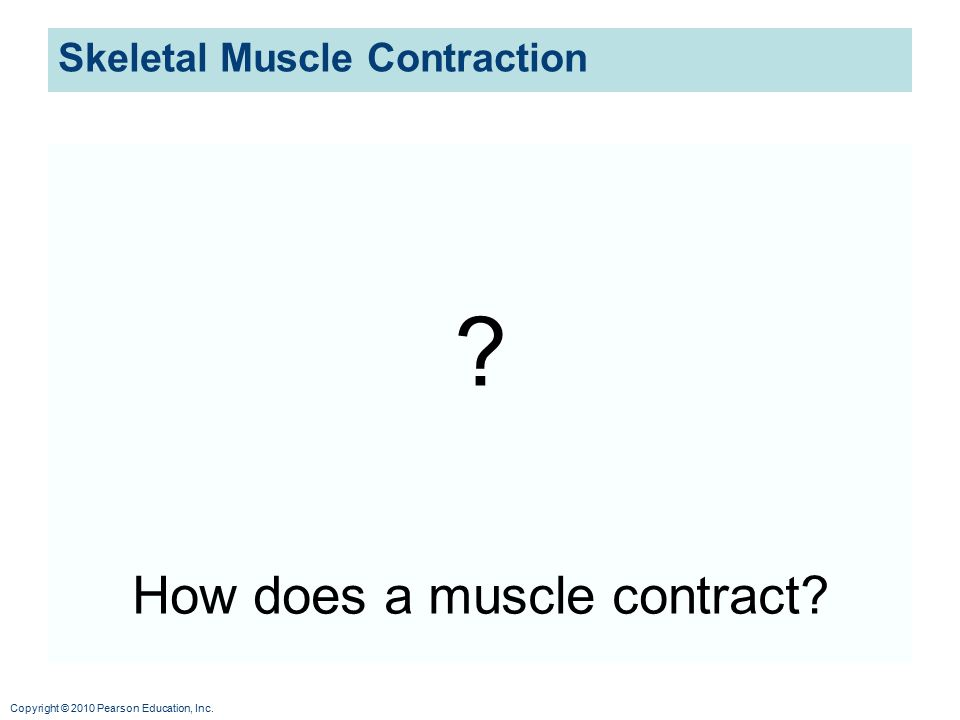 Copyright © 2010 Pearson Education, Inc. Skeletal Muscle Contraction ? How does a muscle contract?