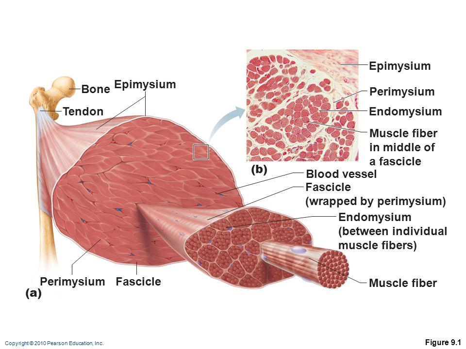 Copyright © 2010 Pearson Education, Inc. Figure 9.1 Bone Perimysium Endomysium (between individual muscle fibers) Muscle fiber Fascicle (wrapped by pe