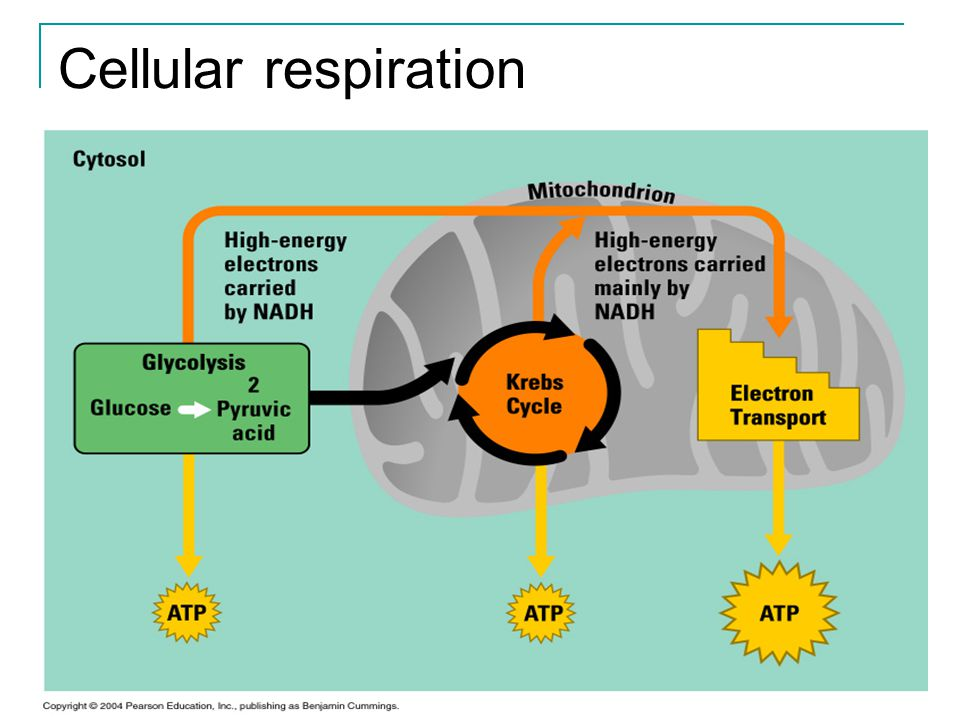 Anaerobic Respiration There are times when cells are without oxygen for a short period of time.