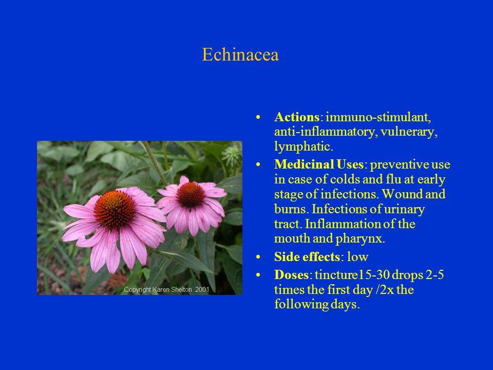 Echinacea Actions: immuno-stimulant, anti-inflammatory, vulnerary, lymphatic.