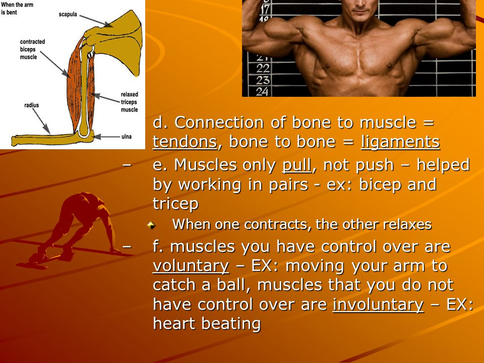 –d. Connection of bone to muscle = tendons, bone to bone = ligaments –e. Muscles only pull, not push – helped by working in pairs - ex: bicep and tric