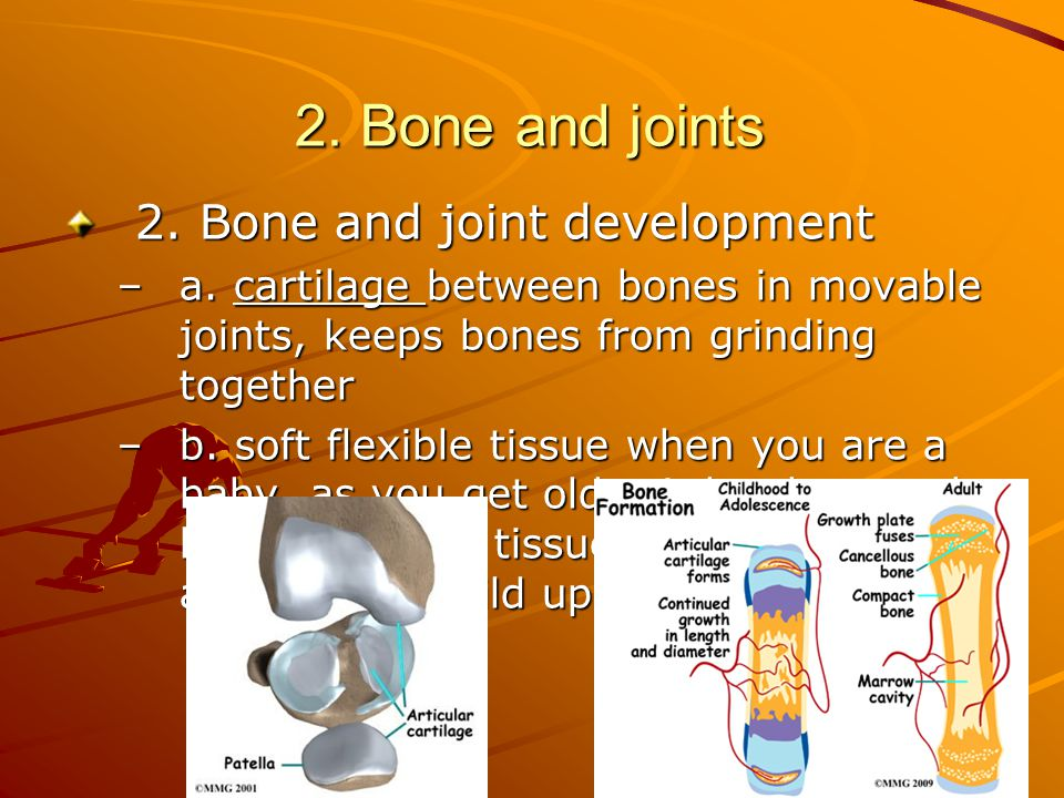 2.Bone and joints 2. Bone and joint development –a.