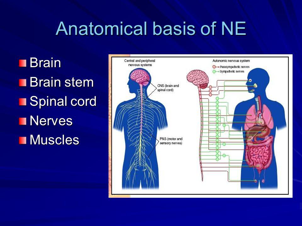 Anatomical basis of NE Brain Brain stem Spinal cord NervesMuscles