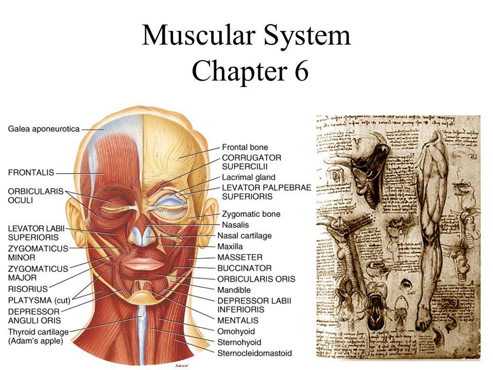 Deep Fascia 3 Layers of deep fascia –Epimysium- surrounds the whole muscle.