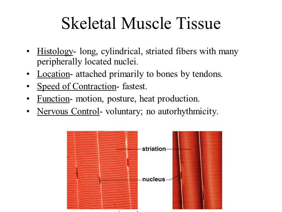 Fascicle- a bundle of skeletal muscle fibers.