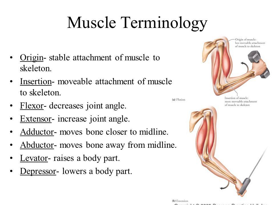 Anatomy of Skeletal Muscles- Fascia