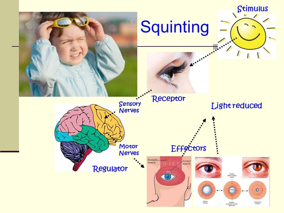 Squinting Stimulus Receptor Regulator Sensory Nerves Motor Nerves Effectors Light reduced