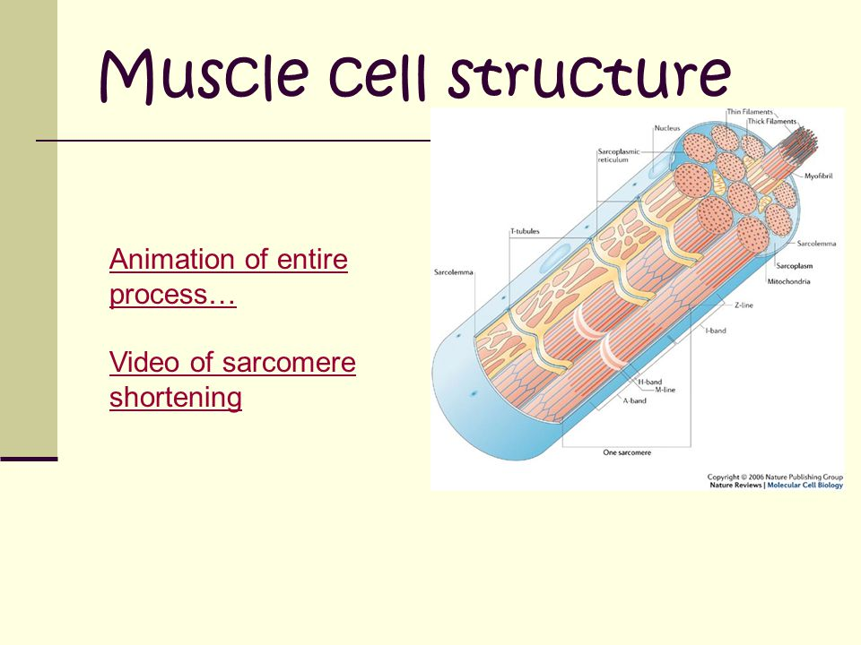 Muscle cell structure Animation of entire process… Video of sarcomere shortening