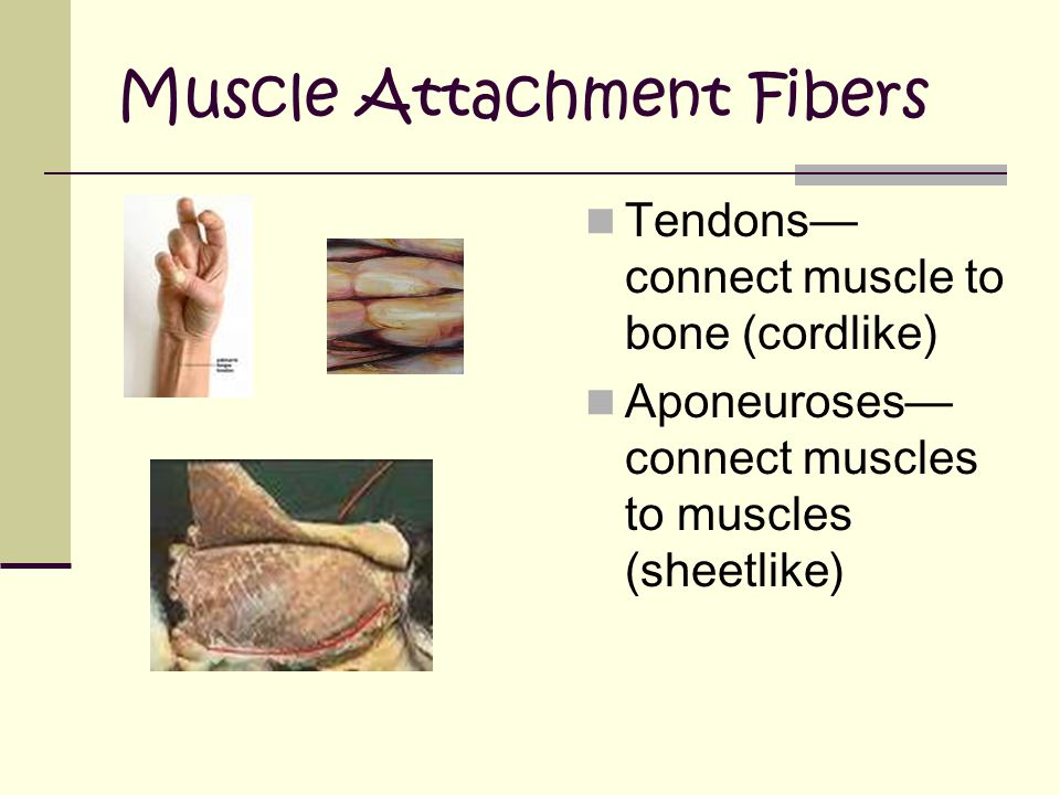 Muscle Attachment Fibers Tendons— connect muscle to bone (cordlike) Aponeuroses— connect muscles to muscles (sheetlike)