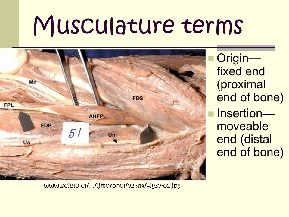 Musculature terms Origin— fixed end (proximal end of bone) Insertion— moveable end (distal end of bone) www.scielo.cl/.../ijmorphol/v25n4/fig37-01.jpg